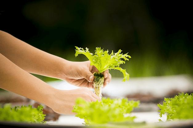 Cara Budidaya Tanaman Hidroponik Yang Paling Mudah