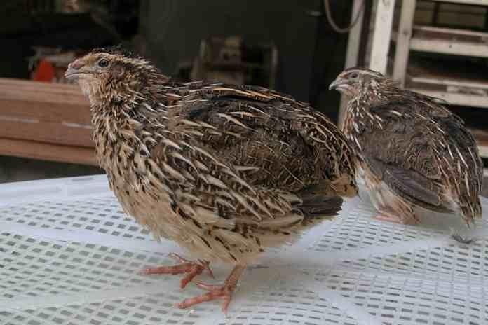 Cara Mudah Beternak Puyuh Bagi Pemula (Lengkap) - AyamJoper.ID