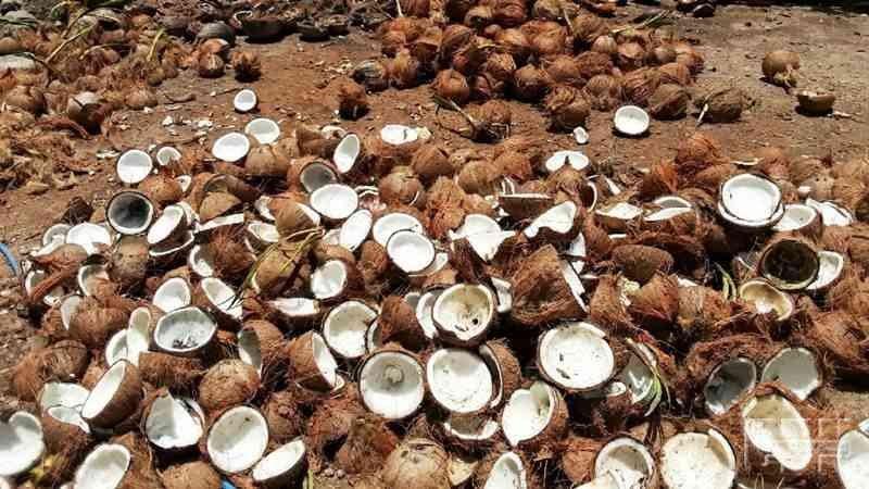 Peluang usaha kelapa tua