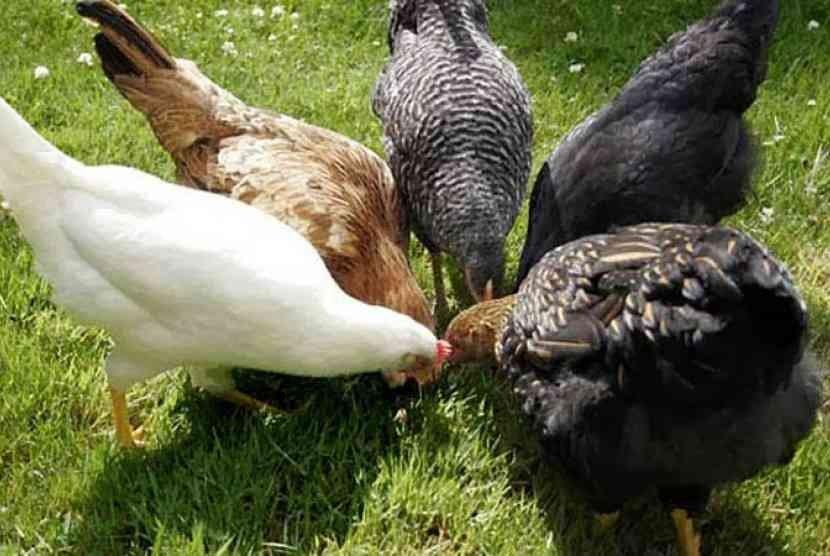Kualitas Daging Ayam Kampung Bisa Ditingkatkan | Republika Online