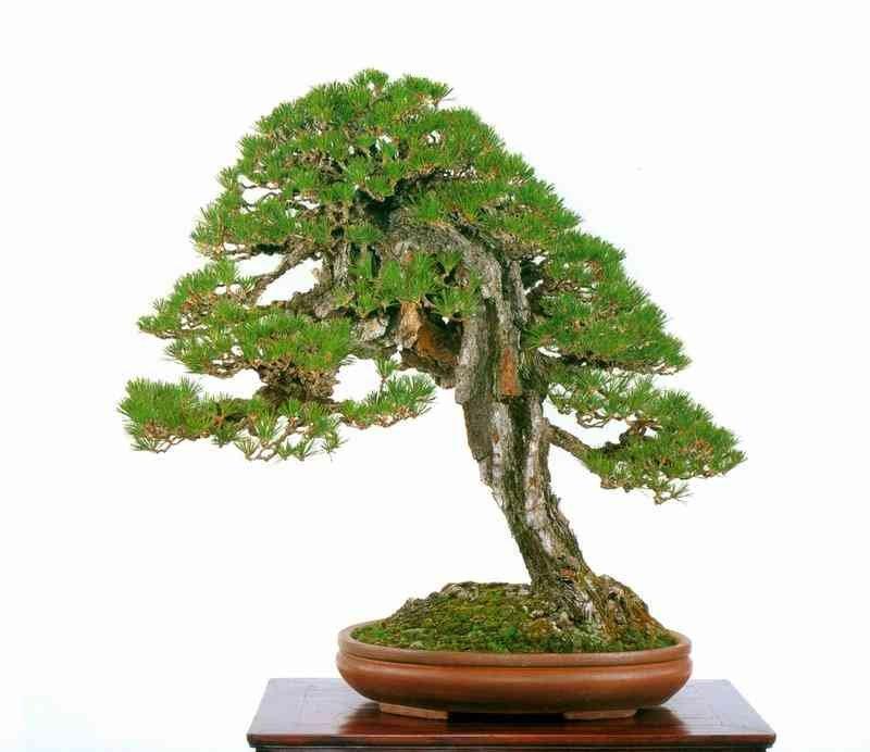 Bonsai Pinus thunbergii | Bonsai Suiseki Magazine