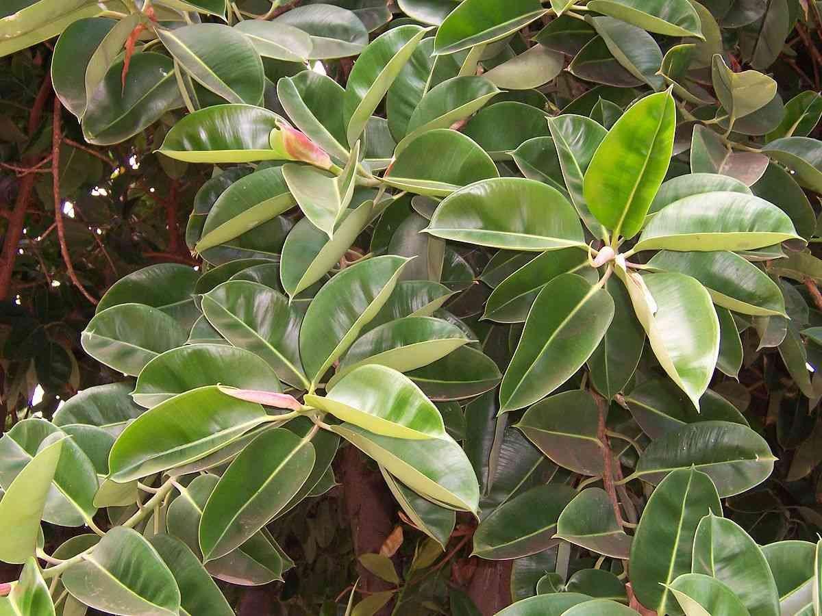 Hasil gambar untuk Ficus Elastica
