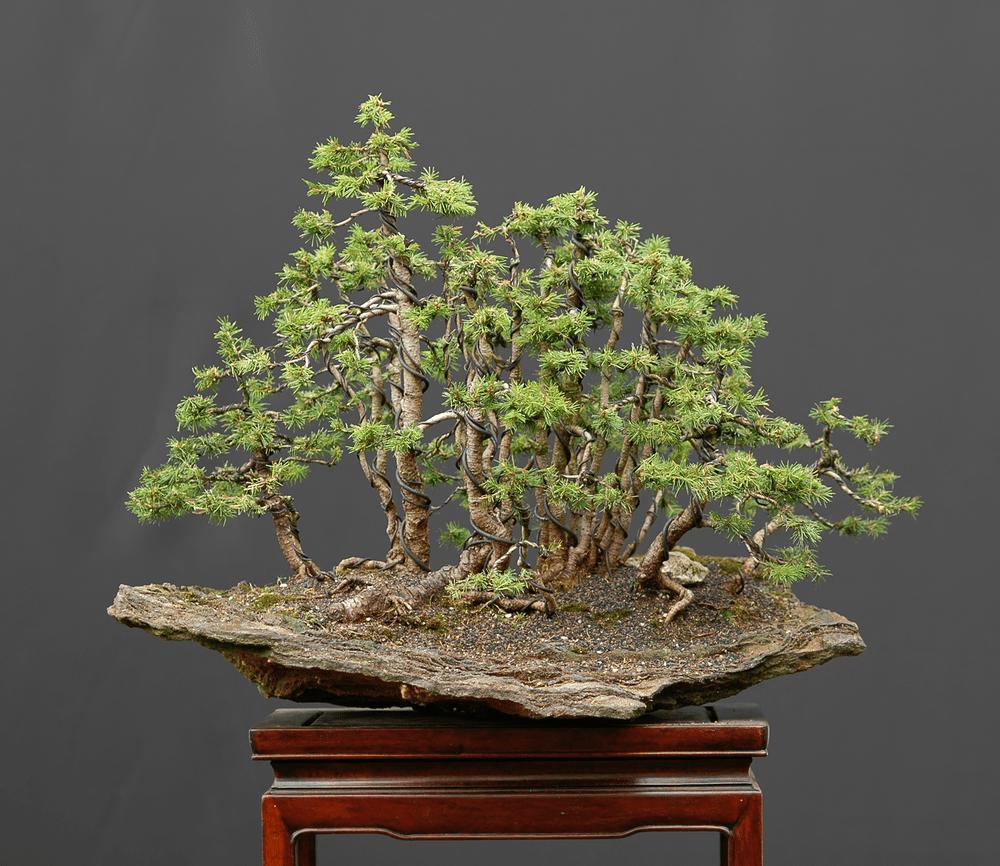 Panduan perawatan untuk pohon Bonsai Cemara (Picea) - Bonsai Klasik
