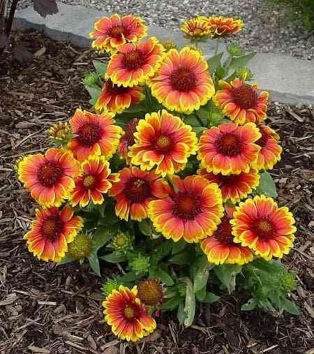 Jual Bibit Benih Seeds Bunga Gaillardia Aristata Blanket Flower di Lapak Entis Store | Bukalapak