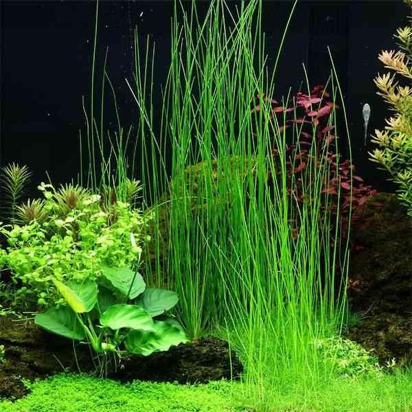 Hasil gambar untuk Giant Hairgrass