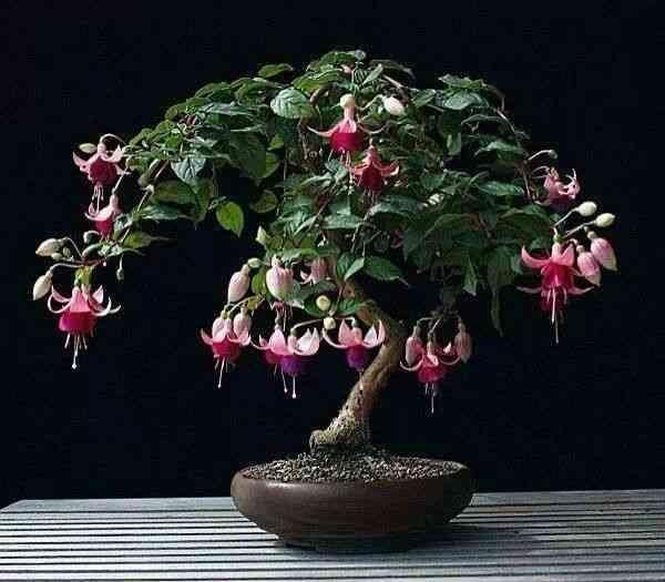 fuchsia bonsai | Bonsai art, Bonsai plants, Bonsai flower