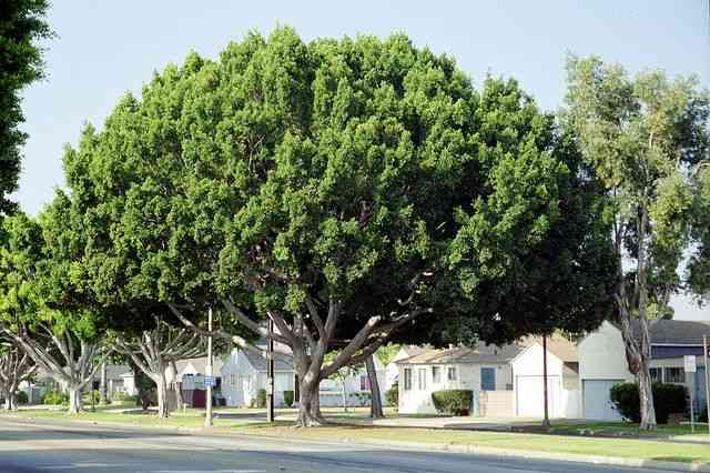 Hasil gambar untuk Ficus Microcarpa