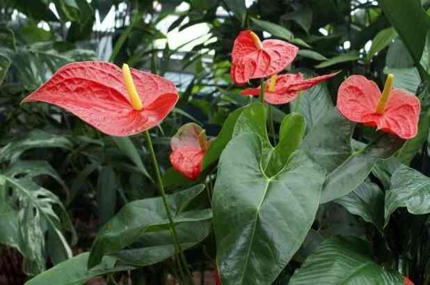 Hasil gambar untuk Tanaman Hias Bunga Anthurium