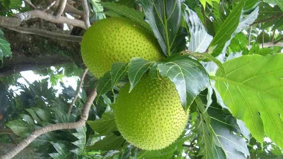 Hasil gambar untuk Artocarpus Altilis