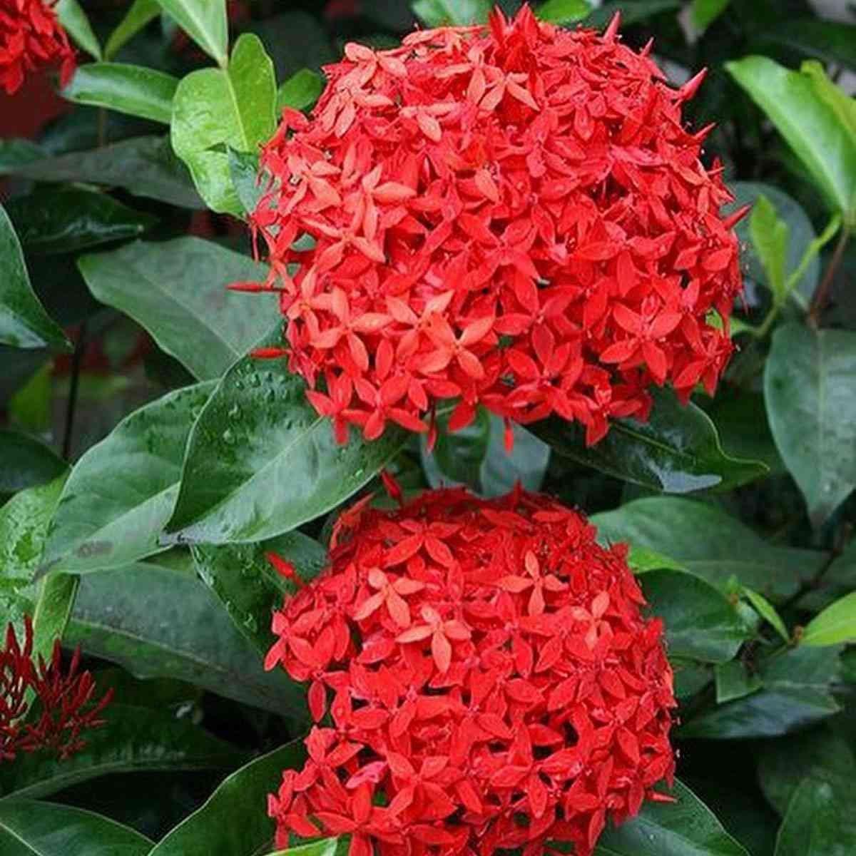 Jual tanaman hias TAHAN PANAS Asoka bunga merah MURAH & BERKUALITAS | KARITANI