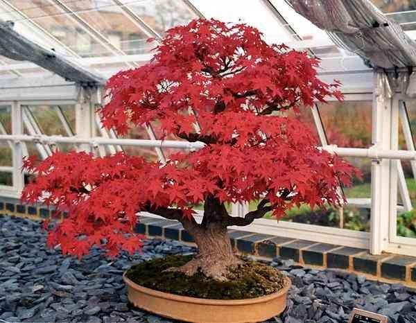 Jual Biji Benih Bonsai Japanese Red Maple Import di Lapak You and I | Bukalapak