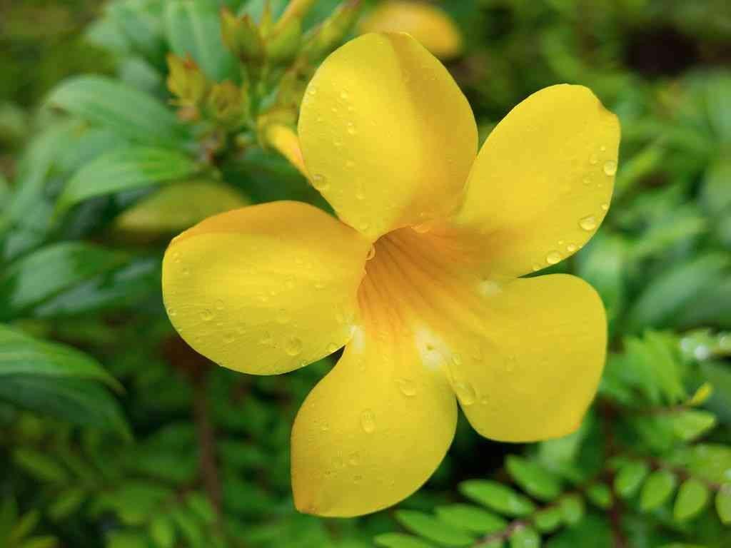 Hasil gambar untuk Tanaman Hias Bunga Alamanda