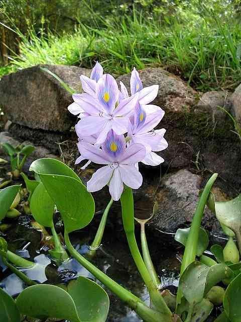 Hasil gambar untuk Tanaman Hias Air Hyacinth Air
