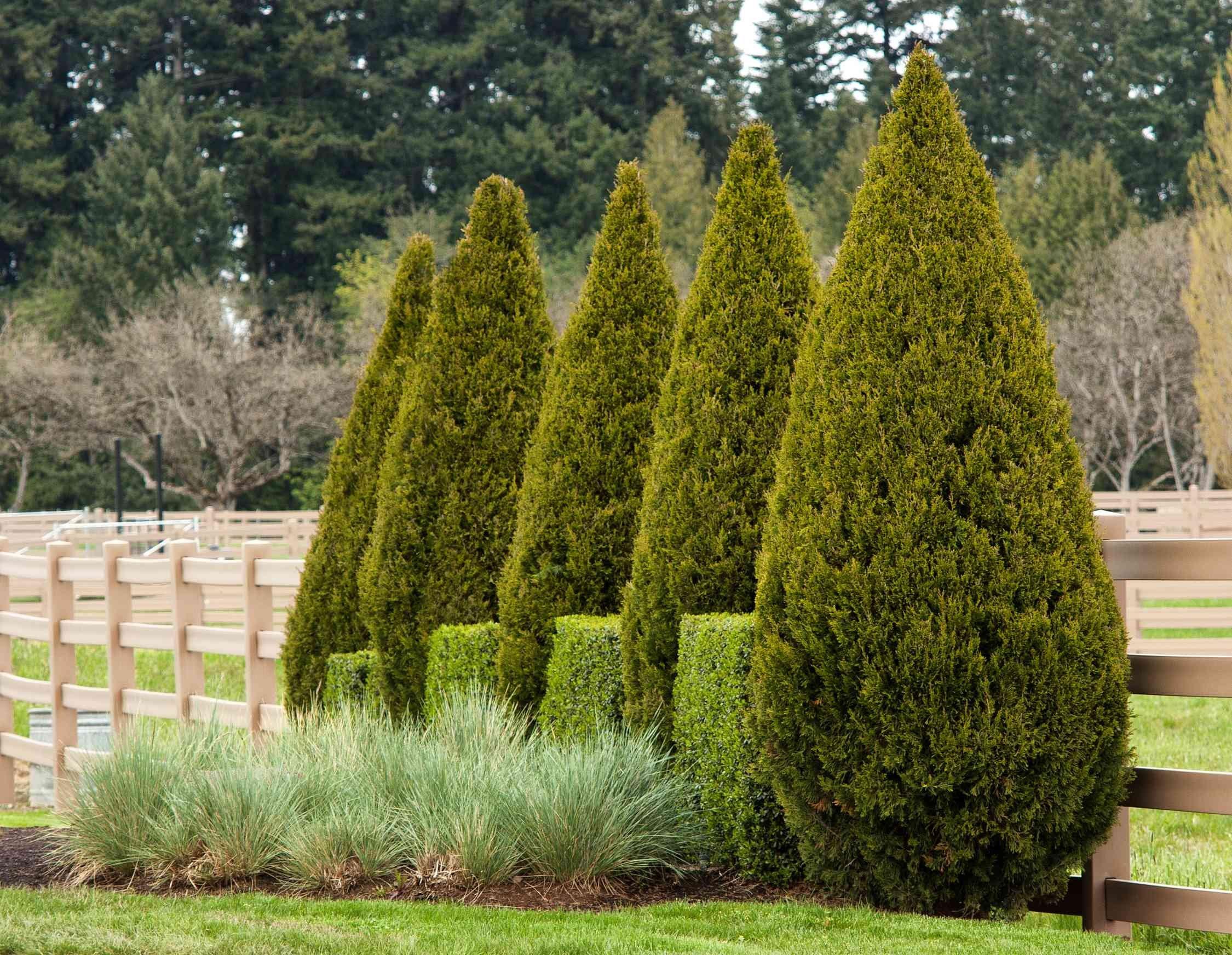 Hasil gambar untuk Juniperus Chinensis