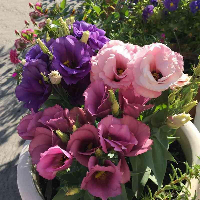 Hasil gambar untuk Tanaman Hias Bunga Eustoma