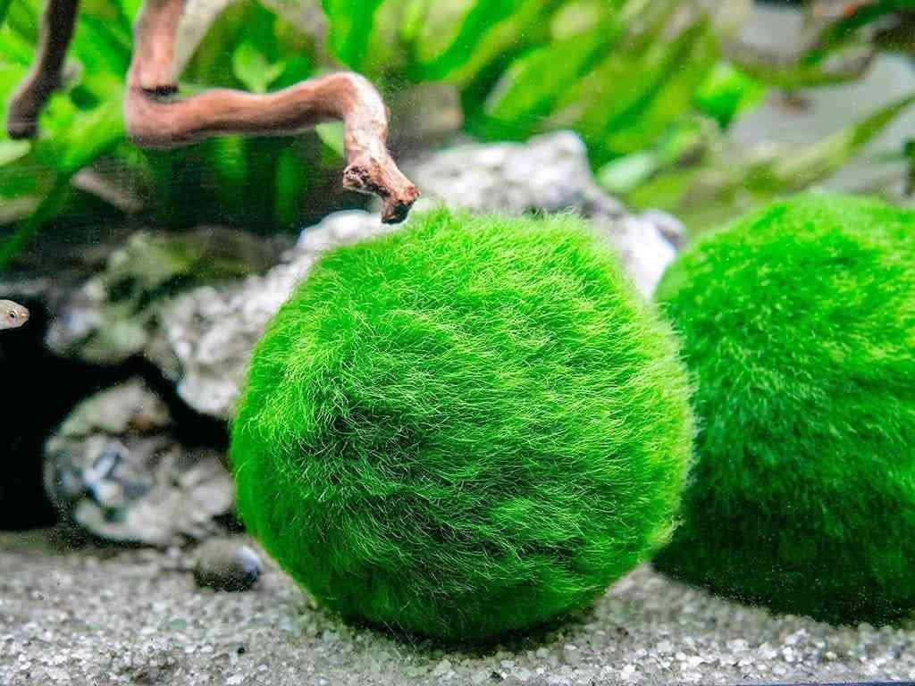 Hasil gambar untuk Marimo Moss Ball