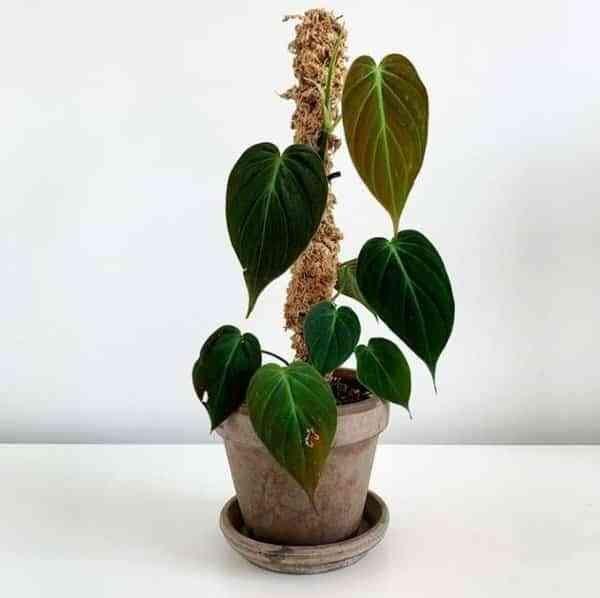 Hasil gambar untuk Tanaman Hias Air Philodendron