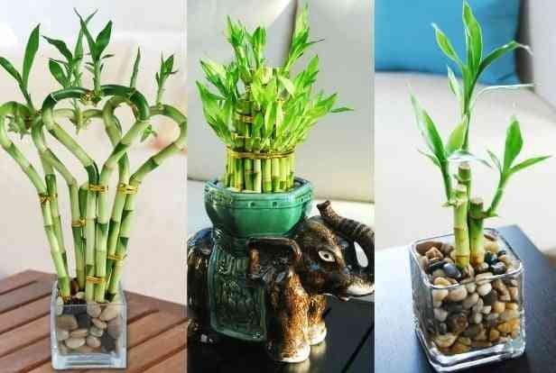 Hasil gambar untuk Tanaman Hias Air Lucky Bamboo
