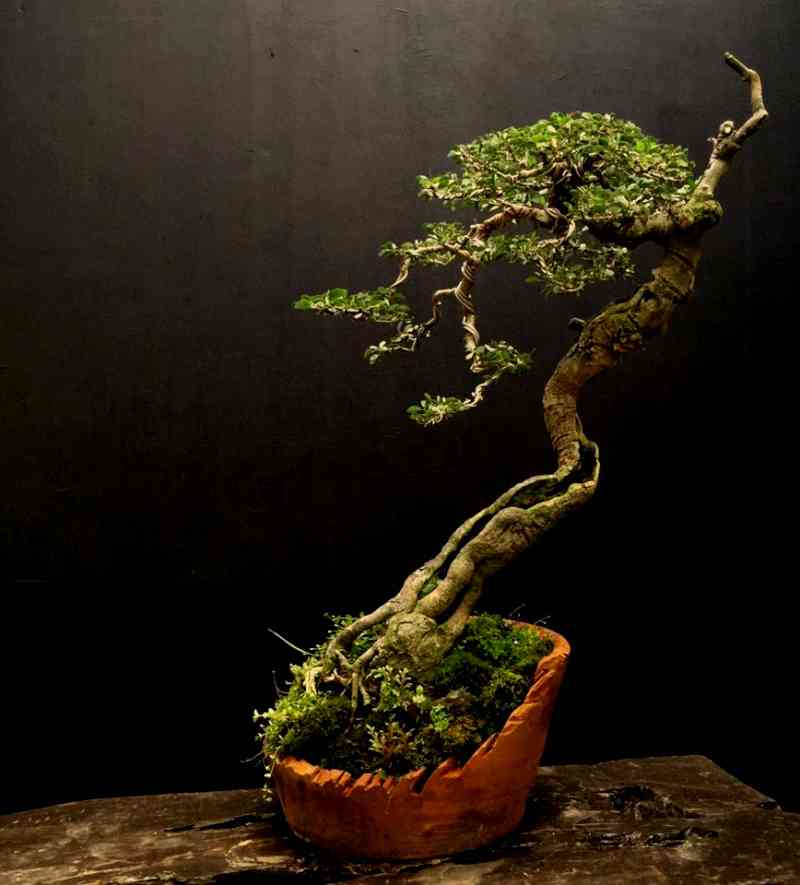 Gambar Bonsai Asam Belanda (pithecellobium dulce)