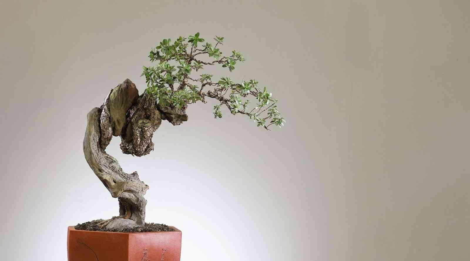 Tanaman Santigi Ideal Untuk Bonsai | Tanamankebun