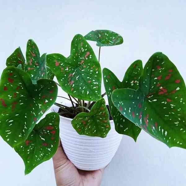 Jual tanaman hias caladium polkadot - Kota Bandung - Faramastore01 | Tokopedia