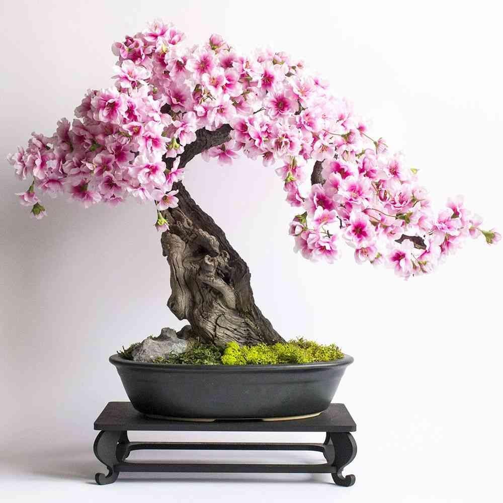 Bonsai Sakura | Mini bonsai, Bonsai, Indoor plants