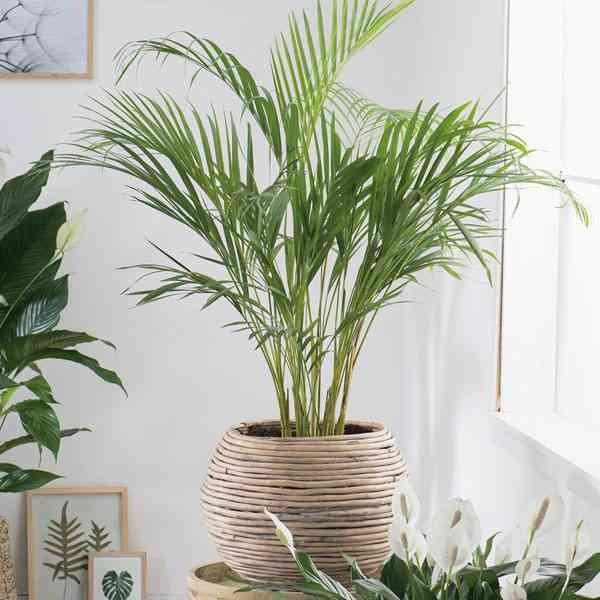 Jual Tanaman Hias Palem Kuning / tanaman indoor palm palem berkualitas - Kota Malang - harristore | Tokopedia