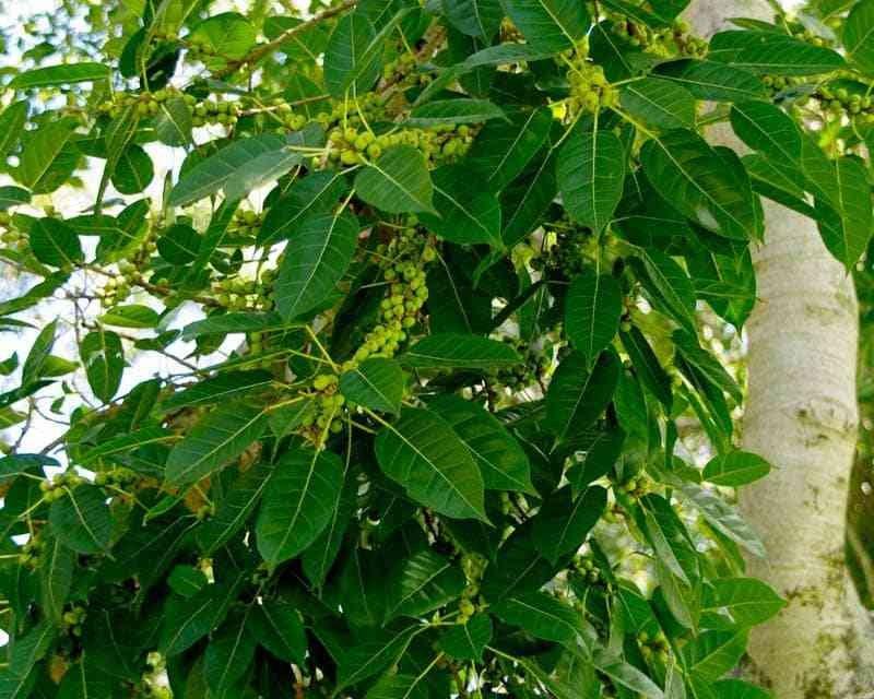 Hasil gambar untuk Ficus Virens