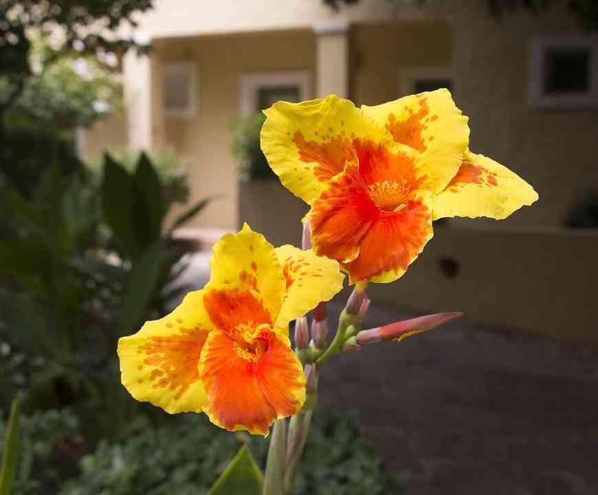 Bunga Canna Merah Dan - Foto gratis di Pixabay