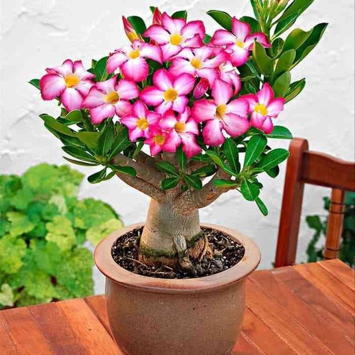 Hasil gambar untuk Tanaman Hias Bunga Kamboja Adenium