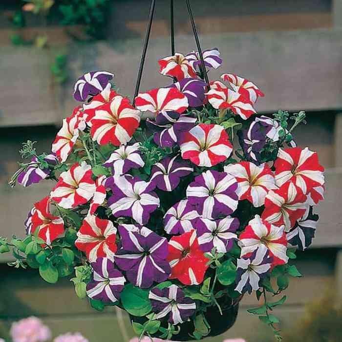 Hasil gambar untuk Tanaman Hias Bunga Petunia