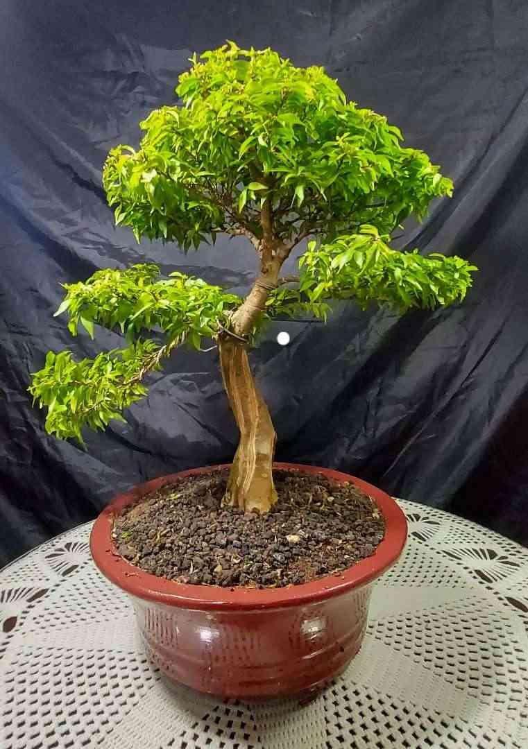 Bonsai Anting Putri Medium - Konstruksi dan Taman - 805049475