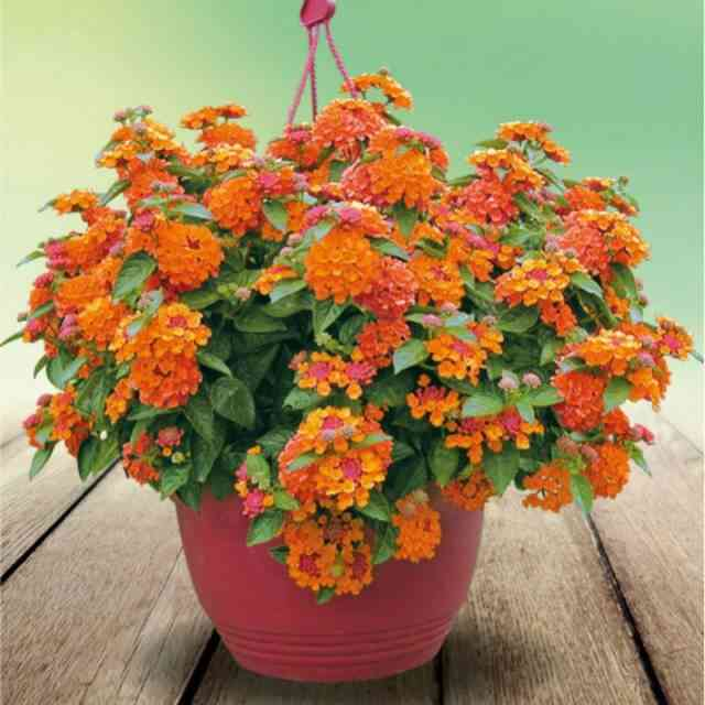 5 Biji benih bonsai bunga saliara orange oranye | Shopee Indonesia