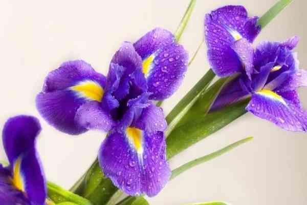 Hasil gambar untuk tanaman Hias Bunga iris