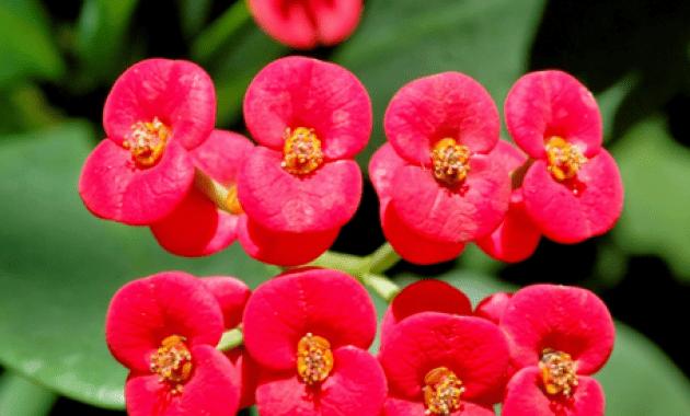 Sketsa Gambar Bunga Euphorbia - Gambar Bagian Tumbuhan